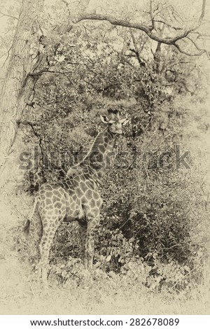African safari, vintage style black and white image of a Giraffe (Giraffa camelopardalis) in Kruger National Park, South Africa - stock photo