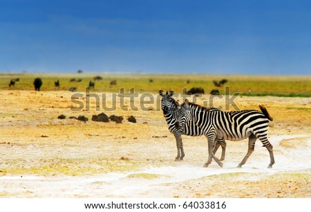 African safari, wild zebras family and landscape of Amboseli National Park, Kenya - stock photo