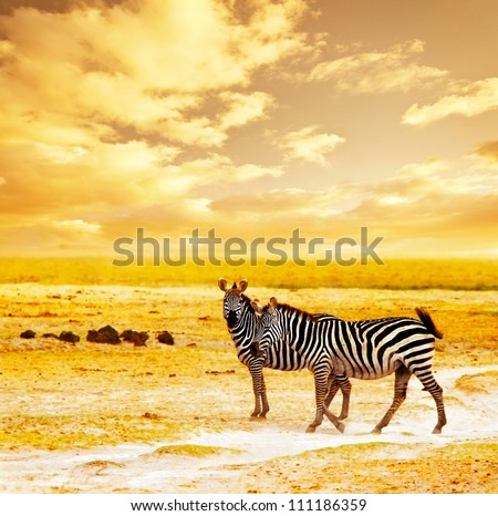 African safari, zebras family and landscape of Amboseli National Park, Kenya, wild animals grazing on dry field grass over orange sunset, adventure, traveling, tourism, vacation and holiday concepts - stock photo
