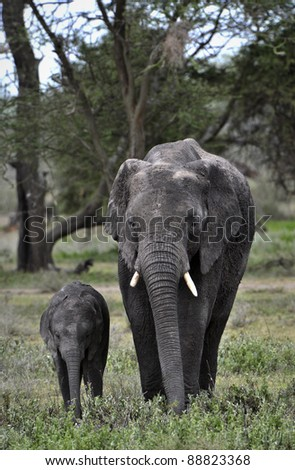 African savanna Elephant and baby. - stock photo