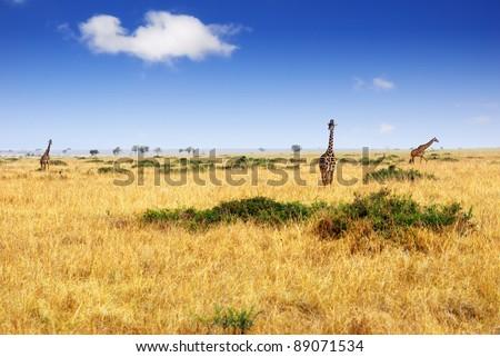African savannah with group of masai race giraffes, Masai Mara national park, Kenya - stock photo