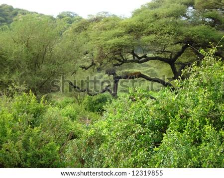 African Scenic - Leo on the tree - stock photo