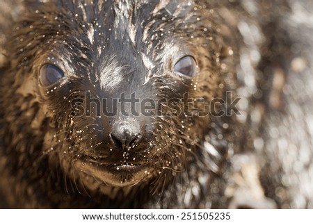 African seal in Namibia, Cape Cross place - stock photo