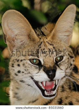 African Serval (Leptailurus serval) - stock photo