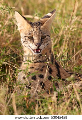 African Serval (Leptailurus serval), medium-sized African wild cat, sitting in savannah in South Africa