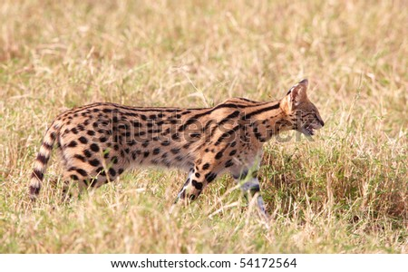 African Serval (Leptailurus serval), medium-sized African wild cat, walking in savannah in South Africa
