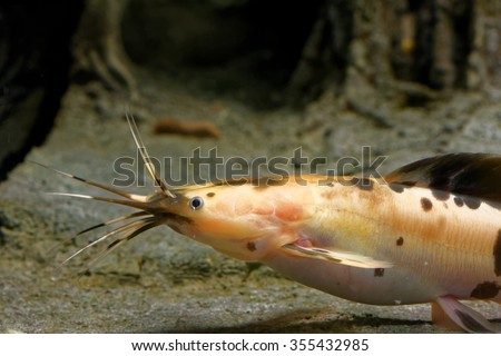 African sharptooth catfish is a species of catfish of the family Clariidae, the airbreathing catfishes. - stock photo