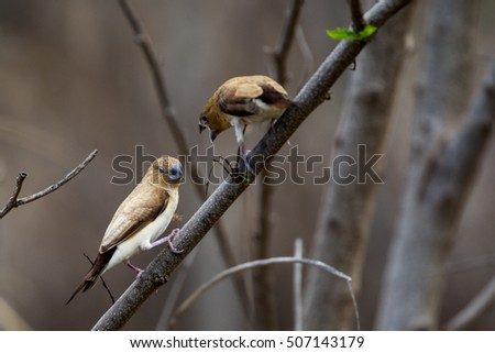 African silverbills (Euodice cantans) in a bush on Oahu, Hawaii, USA.