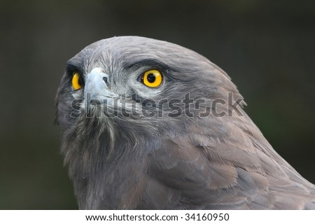 African Snake Eagle with yellow eyes and intent stare