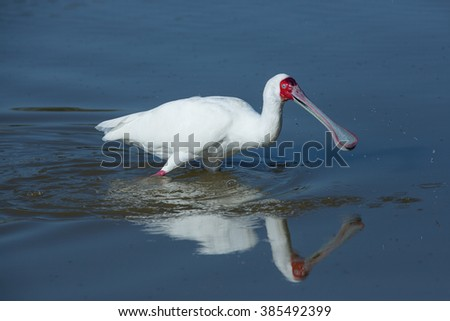 African Spoonbill wading in water in Moremi in Botswana - stock photo