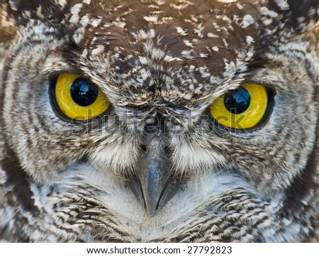 African Spotted Eagle Owl with Large Piercing Yellow Black Eyes - stock photo