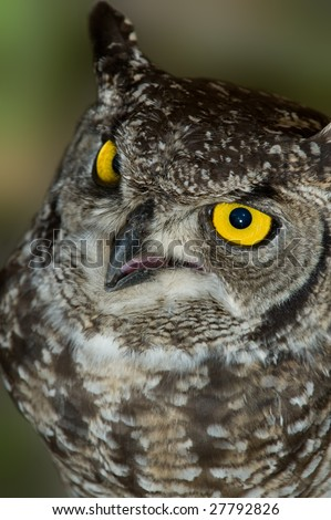 African Spotted Eagle Owl with Large Piercing Yellow Black Eyes Close Up Macro Portrait