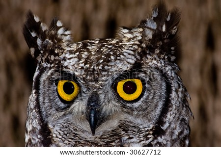 African Spotted Eagle Owl with large piercing yellow eyes in macro portrait - stock photo