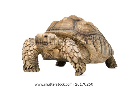 African Spurred Tortoise also know as  African Spur Thigh Tortoise  - Geochelone sulcata in front of a white background - stock photo