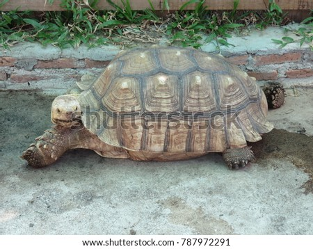 African Spurred Tortoise Centrochelys Sulcata Sulcata Stock Photo