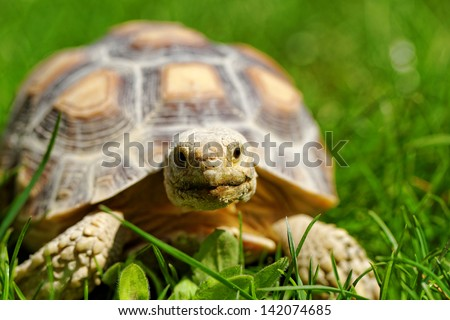 African Spurred Tortoise (Geochelone sulcata) in the garden - stock photo