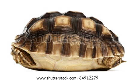 African Spurred Tortoise, Geochelone sulcata, 1 year old, in front of white background - stock photo