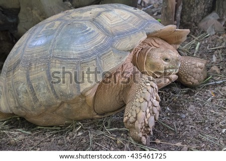 African Spurred Tortoise, Sulcata tortoise - stock photo