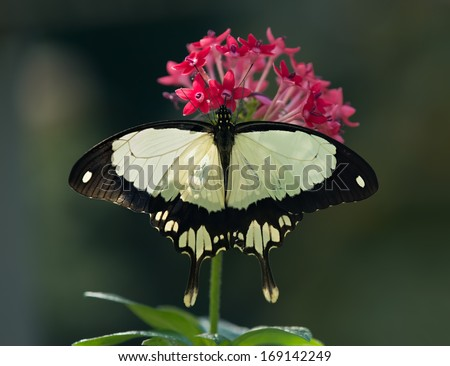African Swallowtail butterfly (Papilio dardanus), aka Flying Handkerchief, Mocker Swallowtail, feeding on red pentas flower. Natural dark green background.