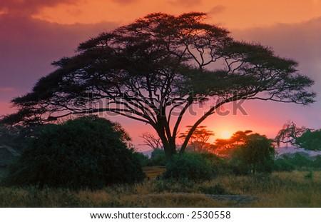African Thorn Tree (Acacia) with Crimson sunrise - stock photo