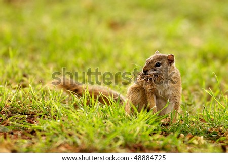 African tree Squirrel gathering nesting material in green natural grass