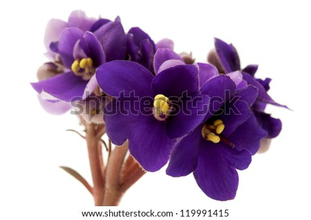 African violet on a white background - stock photo
