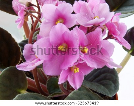 African violet potted plant with pink flower
