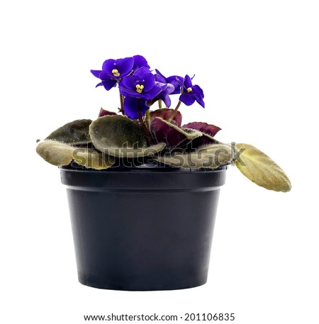 African violet Saintpaulia, very beautiful blue flower that is grown at home. White background. - stock photo