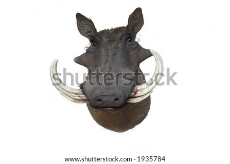 African Warthog taxidermy mount over a white background - stock photo