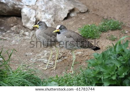 african wattled lapwings (Vanellus Senegallus) - stock photo