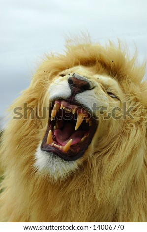 African white lion portrait roaring - stock photo