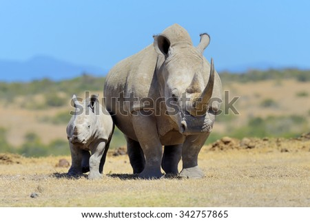African white rhino, National park of Kenya, Africa - stock photo