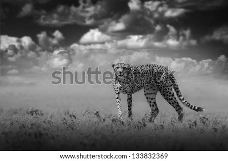 African wild cheetah in black and white with dark sky - stock photo