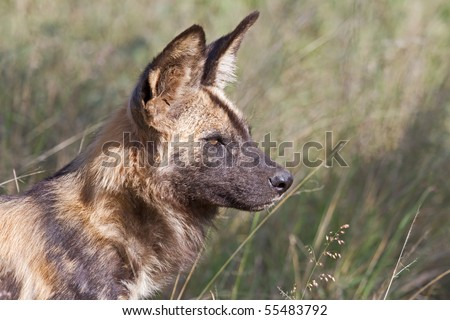 African Wild Dog alpha male in the Madikwe Game Reserve, South Africa - stock photo