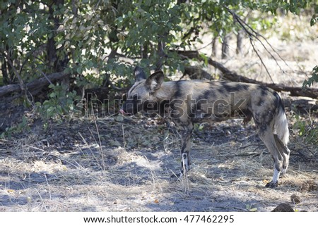 African Wild Dog at den site