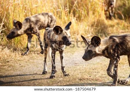 African Wild Dog at Okavango Delta - Moremi National Park in Botswana - stock photo