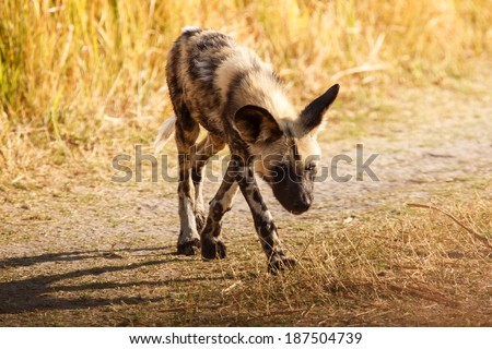 African Wild Dog at Okavango Delta - Moremi National Park in Botswana