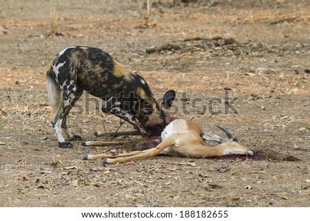 African Wild Dog eating a young male Impala - stock photo