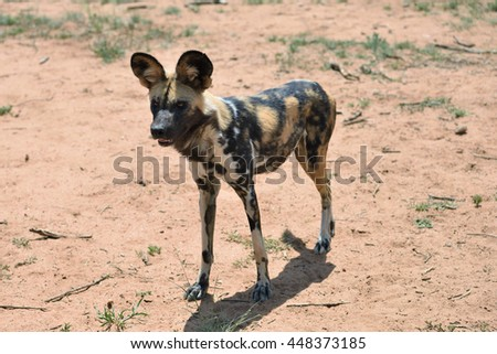 African Wild Dog in bushveld, Namibia, Africa - stock photo