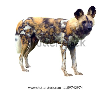 African wild dog isolated on white background. Copy space