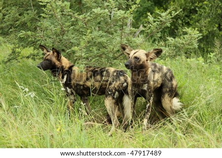 African wild dog Pair standing up, cautious - stock photo