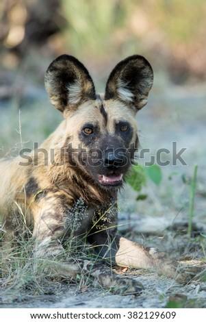 African Wild Dog portrait in Etosha National Park in Namibia - stock photo
