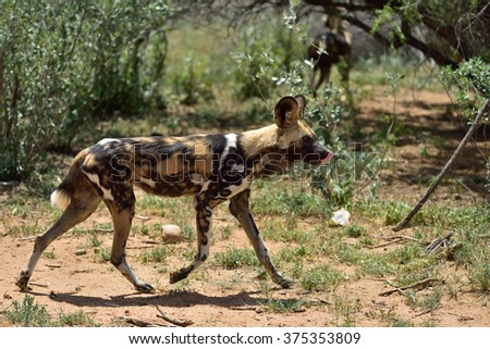 African Wild Dog running in bush, Namibia - stock photo