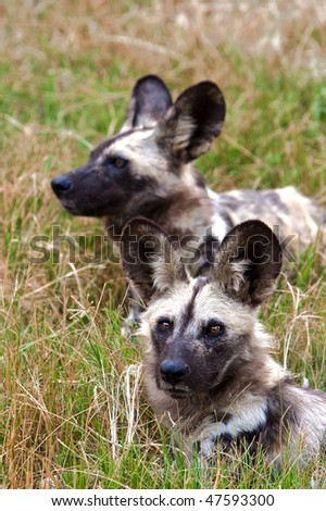 African Wild Dogs, Bela Bela, South Africa