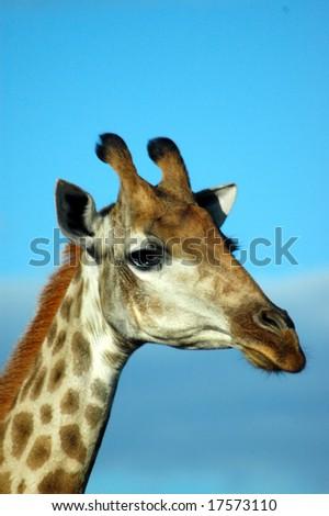 African wild Giraffe head profile portrait - stock photo