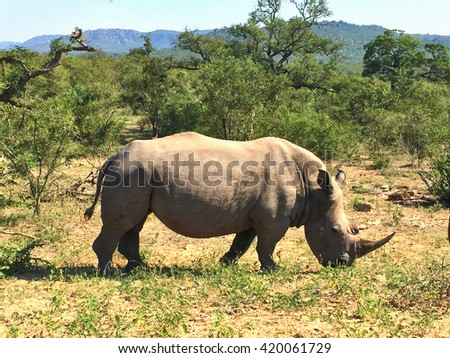 African wild rhino eating grass at Kruger National Park in South Africa with green trees on the background. - stock photo