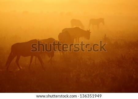 African wildebeest migrating in red sun light - stock photo