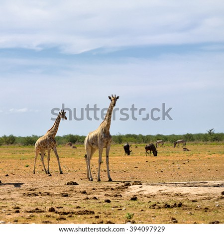 African wildlife, young giraffes,  wildebeest antelopes and zebras on background in Namibia - stock photo