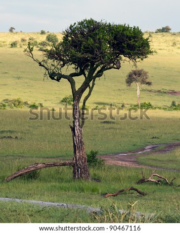 African wood owl in the tree on Masai Mara National Reserve - Kenya - stock photo