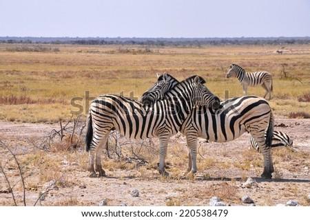 African Zebra family - stock photo